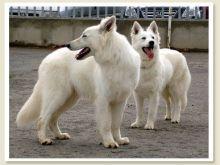 كلاب جيرمن شيبرد ابيض - (12680459) | opensooq - السوق المفتوح